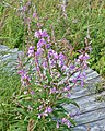 Fireweed (Chamaenerion angustifolium) - The Arches Provincial Park, Newfoundland 2019-08-19 (01).jpg