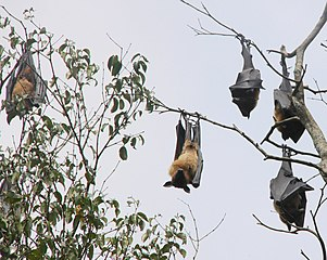 Five flying dogs hanging in a tree Sri Lanka (CC by-sa, Wikimedia), by Peter van der Sluijs