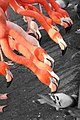 Flamingos (146893509).jpeg