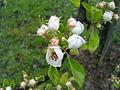 Fleurs de poirier à Grez-Doiceau 001.jpg