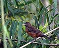 Flickr - Dario Sanches - TIÊ-SANGUE fêmea (Ramphocelus bresilius) (2).jpg