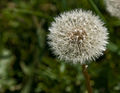 Flickr - Laenulfean - dandelion, withered.jpg