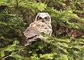 Flickr - Oregon Department of Fish & Wildlife - 100 1229 fledgling great horned owl matthews odfw.jpg