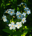 Flickr - Per Ola Wiberg ~ mostly away - Forget-me-not...hehe....or forgive me not...jpg