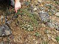 Flickr - brewbooks - Eriogonum thymoides (thymeleaf buckwheat) Umtanum Ridge hike.jpg