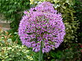 Flickr - brewbooks - Purple Allium - our garden (1).jpg