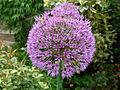 Flickr - brewbooks - Purple Allium - our garden (1).jpg
