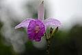Flickr - ggallice - Orchid (24).jpg