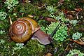 Flickr - ggallice - Snail (1).jpg