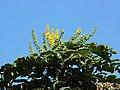 Flora Anamudi shola Kerala IMG 1787.jpg