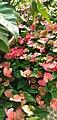 Flora of Thailand 7.JPG