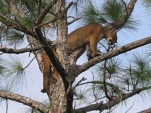 Florida panther in a tree (5164028799).jpg