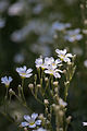 "Flower, Cerastium ""Silver Carpet"" - Flickr - nekonomania.jpg"