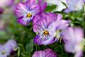 "Flower, Viola ""F1 Vivi Lavender Antique"" - Flickr - nekonomania.jpg"