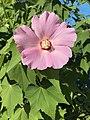 Flower of Hibiscus mutabilis 20170818.jpg