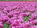 Flowerfields near Noordwijk (Netherlands 2007) (2476570334).jpg