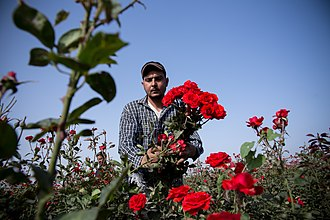 Economy of Egypt - Flower production.