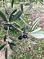 Foglie di oliva.jpg