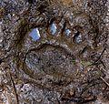 Following the Grizzly Bear (3905345896).jpg
