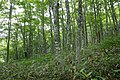 Forest in Mt.Bandai 07.jpg
