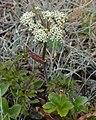 Formica sp. on Chinese Hemlock-Parsley (Conioselinum chinense) - Lark Harbour, Newfoundland 2019-08-18.jpg