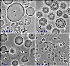 gyógynövények a paraziták kezelésére szalagféreg lárva 5