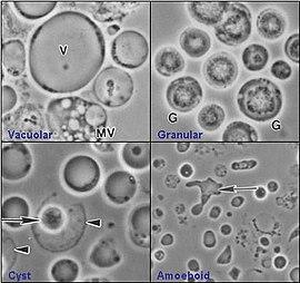 paraziti blastocystis hominis)