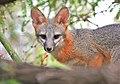 Fox Friend (29013325977).jpg