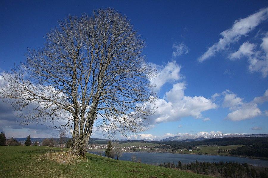Un frêne au sommet d'une colline domine le lac de Remoray. En arrière plan, le Suchet et le Mont d'Or enneigés.