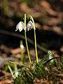 Frühlings-Knotenblume, Leucojum vernum 05.JPG