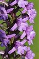 Fragrant Orchid - Gymnadenia conopsea - panoramio (3).jpg