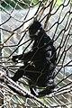 Francois Langur Monkey (Presbytis francoisi) (2854166105).jpg