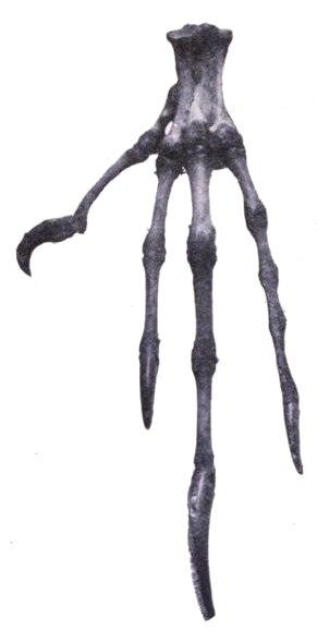 Fregata foot bones
