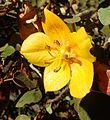 Fremontodendron californicum Ken Taylor kz3.jpg