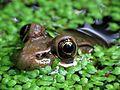 Frog Close-Up - Flickr - treegrow.jpg