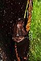 Frog panama (9430294664).jpg