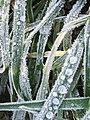 Frosty grass, Trenhorne - geograph.org.uk - 638403.jpg