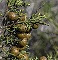 Fruit of Juniperus phoenicea, Akamas Paninsula, Cyprus.jpg