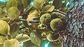 Fruit ordubad meyveleri meyva svln4821 01.jpg