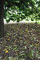 Fruits of Asam gelugor (Garcinia atroviridis) on the ground.JPG