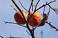 Fruits oranges, jardin japonais.JPG