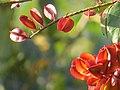 """Frutos imaturos de """"Escova-de-macaco"""" - Combretum fruticosum - Combretaceae - Liana semilenhosa - trepadeira 05.jpg"""