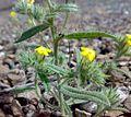 Fujeirah north 1501200713071 Arnebia hispidissima.jpg