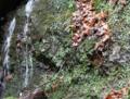 Fukuia kurodai habitat.png