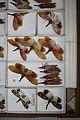 Fulgoridae - 5036752586.jpg