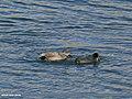 Gadwall (Anas strepera) & Eurasian Coot (Fulica atra) (24360474518).jpg