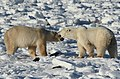 Gaiter and Earring, two polar bears (6378934579).jpg