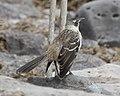 Galapagos Mockingbird (Nesomimus parvulus) (20525236501).jpg