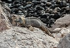 Galapagos land iguana of Santa Fe.jpg