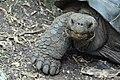 Galapagos tortoises (Chelonoidis nigra sp.) on Floreana, Galapagos Islands (7429201706).jpg